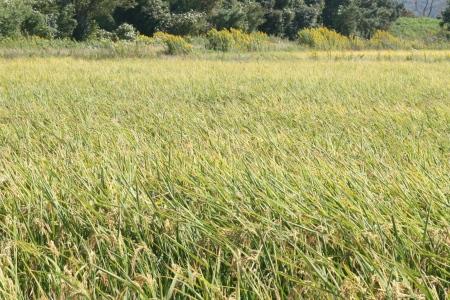 金沢大地の有機米の刈り取り待ちの田んぼ