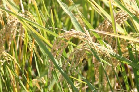 秋の日差しに有機米の稲穂