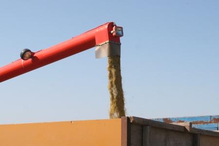 収穫した有機米(籾殻付き)はトラックの大きな袋へ