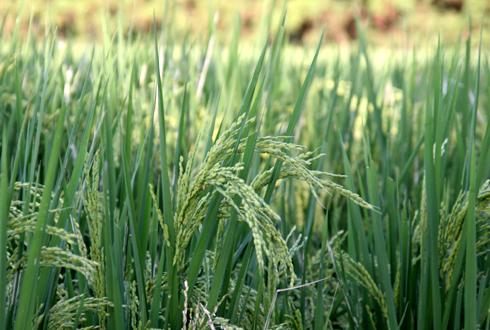 金沢大地の有機米圃場2010年9月